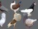 Pigeon Bird