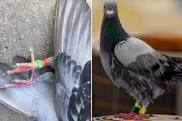 Racing Pigeon Identification