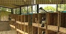 Pigeon Farm