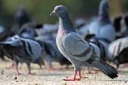What To Feed Wild Pigeons