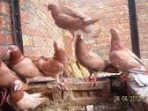 Tippler Pigeon