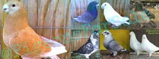 3 Things To Consider When Purchasing Fancy Pigeons For sale