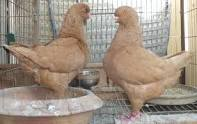 King Pigeons For Sale All Breeds