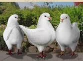 Utility King Pigeons