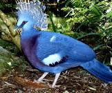 Victoria Crowned Pigeon For Sale