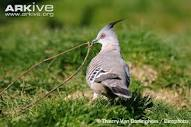 Crested Pigeon Diet