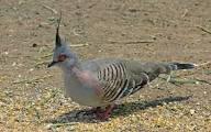 Crested Pigeon Call
