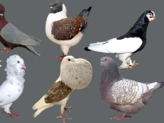 Breeds Of Pigeons