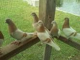 Yellow Tippler Pigeons For Sale