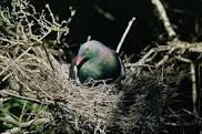 Pigeon Nesting Season