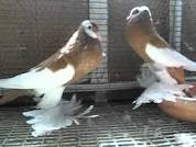 Pouter Pigeon For Sale