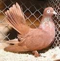 Roller Pigeon