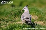 Crested Pigeon Diet