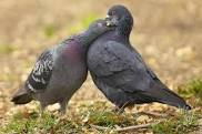 Difference Between Male And Female Pigeons
