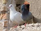 Difference Between Dove And Pigeon