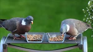 What Do Wood Pigeons Eat