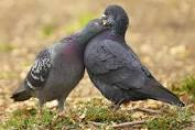 Do Pigeons Mate For Life